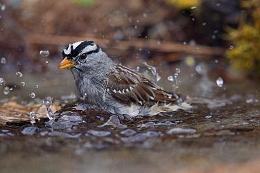 White-crowned Sparrow (Zonotrichia leucophrys) bathing, Montana  -  Donald M. Jones