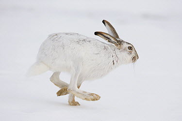 White-tailed Jack Rabbit (Lepus townsendii) running in snow, central Montana  -  Donald M. Jones