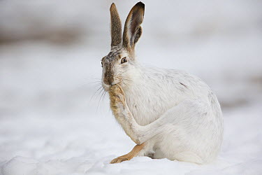 White-tailed Jack Rabbit (Lepus townsendii) grooming foot, central Montana  -  Donald M. Jones