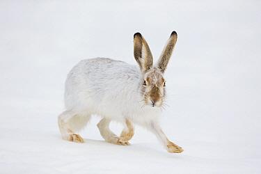 White-tailed Jack Rabbit (Lepus townsendii) running in snow, central Montana  -  Donald M. Jones