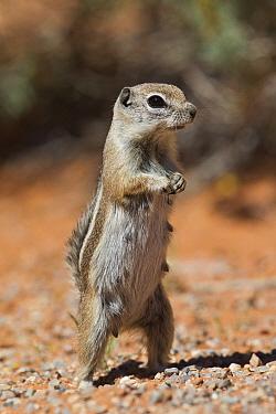 White-tailed Antelope Squirrel (Ammospermophilus leucurus) female on guard, southern Nevada  -  Donald M. Jones