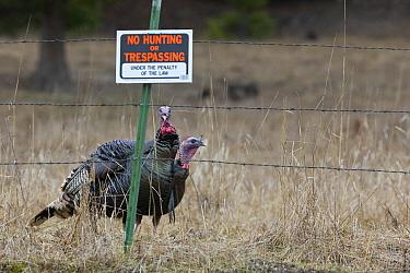 Wild Turkey (Meleagris gallopavo) pair near fence with no hunting sign, western Montana  -  Donald M. Jones