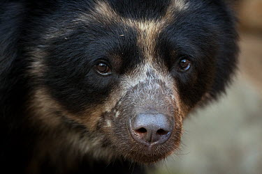 Spectacled Bear (Tremarctos ornatus), native to South America  -  ZSSD