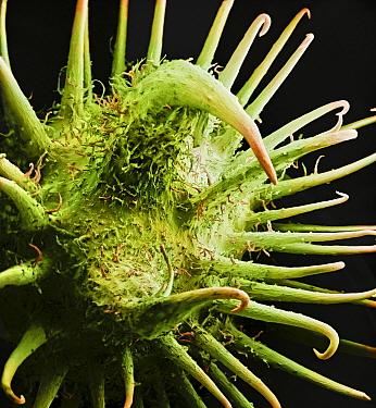 Rough Cocklebur (Xanthium strumarium) fruit showing hooks and spines that aid in dispersal  -  Albert Lleal