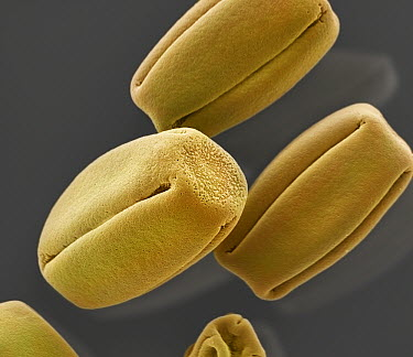 Violet (Viola sp) pollen, seen under SEM, 2535x magnification  -  Albert Lleal