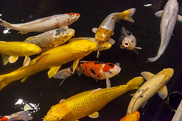 European Carp (Cyprinus carpio) group in pond, Japan  -  Colin Monteath/ Hedgehog House