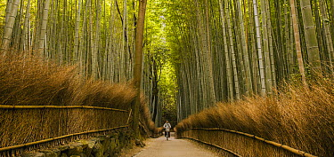 Man bicycling through bamboo forest, Kyoto, Japan  -  Colin Monteath/ Hedgehog House