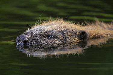 European Beaver (Castor fiber) swimming, Spessart, Germany  -  Ingo Arndt