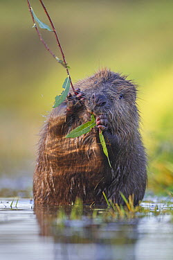 European Beaver (Castor fiber) feeding on willow twig, Bavaria, Germany  -  Ingo Arndt