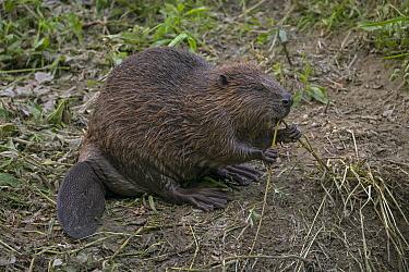 European Beaver (Castor fiber) feeding on willow twig, Switzerland  -  Ingo Arndt