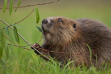 European Beaver (Castor fiber) on riverbank feeding on willow twig, Bavaria, Germany  -  Ingo Arndt