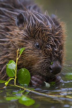 European Beaver (Castor fiber) juvenile feeding on willow twig, Bavaria, Germany  -  Ingo Arndt