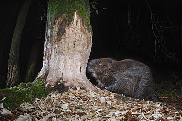 European Beaver (Castor fiber) gnawing tree at night, Spessart, Germany  -  Ingo Arndt