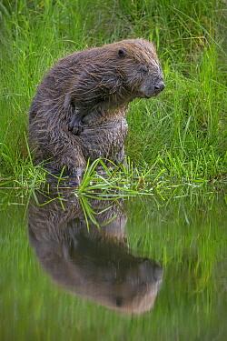 European Beaver (Castor fiber) scratching itself, Spessart, Germany  -  Ingo Arndt