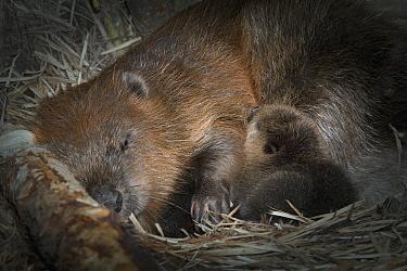 European Beaver (Castor fiber) with newborn baby inside lodge, Germany  -  Ingo Arndt