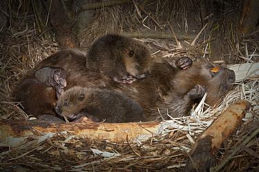 European Beaver (Castor fiber) playing with two newborn babies inside lodge, Germany  -  Ingo Arndt