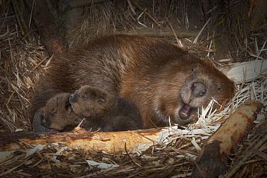 European Beaver (Castor fiber) with two newborn babies inside lodge, Germany  -  Ingo Arndt