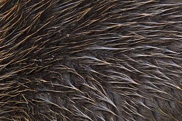 European Beaver (Castor fiber) fur, Germany  -  Ingo Arndt