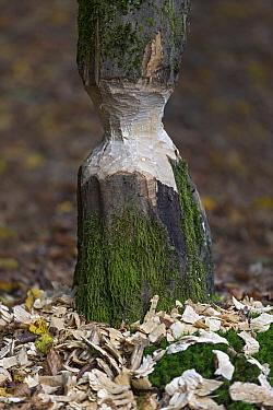 European Beaver (Castor fiber) fresh bite marks on beech tree, Spessart, Germany  -  Ingo Arndt