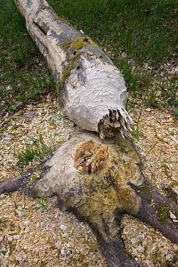 European Beaver (Castor fiber) fresh bite marks on felled beech tree, Spessart, Germany  -  Ingo Arndt