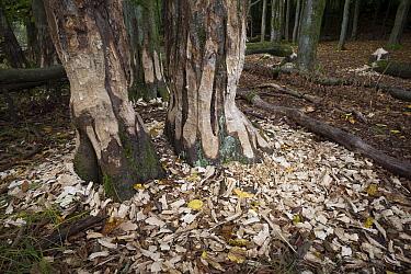 European Beaver (Castor fiber) fresh bite marks and felled trees, Spessart, Germany  -  Ingo Arndt