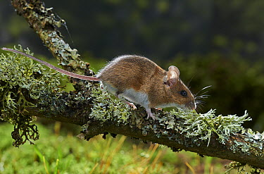 Wood Mouse (Apodemus sylvaticus), Sussex, England  -  Stephen Dalton
