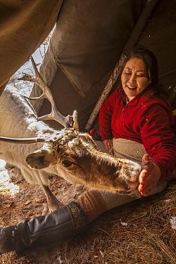 Caribou (Rangifer tarandus) being fed salt inside teepee after long winter, Hunkher Mountains, northern Mongolia  -  Colin Monteath/ Hedgehog House