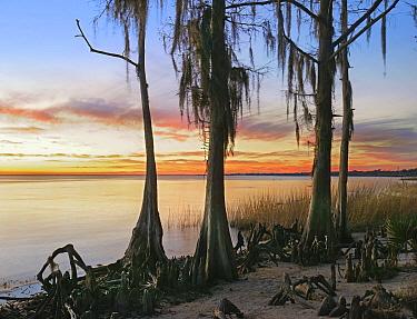 Dwarf Cypress (Taxodium sp) trees covered with Spanish Moss (Tillandsia usneoides) on lakeshore, Lake Pontchartrain, Fontainbleu State Park, Louisiana  -  Tim Fitzharris