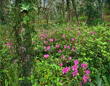 Rhododendron (Rhododendron sp) flowering in subtropical forest, Rainbow Springs State Park, Florida  -  Tim Fitzharris