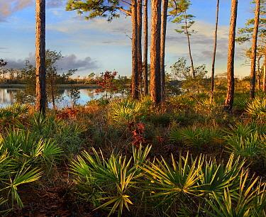 Saw Palmetto (Serenoa repens) and Longleaf Pine (Pinus palustris) trees, Ochlockonee River State Park, Florida  -  Tim Fitzharris