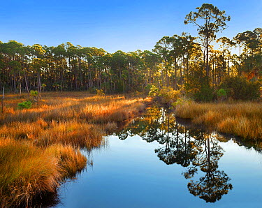 Marsh and trees at sunrise, Saint Joseph Peninsula, Florida  -  Tim Fitzharris