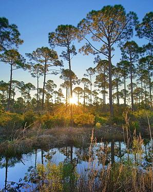 Marsh and trees at sunrise, Saint Joseph Peninsula, Florida  -  Tim Fitzharris