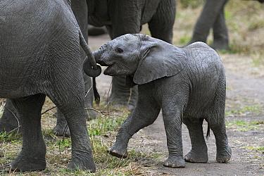African Elephant (Loxodonta africana) calf grabbing juvenile's tail, Sabi-sands Game Reserve, South Africa  -  Sergey Gorshkov