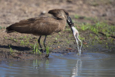 Hamerkop (Scopus umbretta) catching frog, Sabi-sands Game Reserve, South Africa  -  Sergey Gorshkov