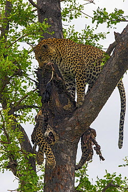 Leopard (Panthera pardus) will leopard carcass in tree, Sabi-sands Game Reserve, South Africa  -  Sergey Gorshkov
