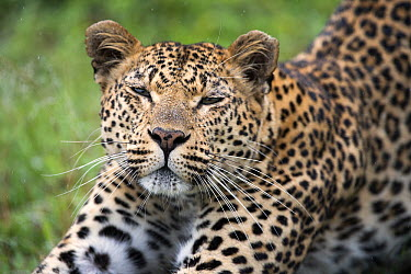 Leopard (Panthera pardus) stretching, Sabi-sands Game Reserve, South Africa  -  Sergey Gorshkov
