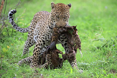 Leopard (Panthera pardus) carrying leopard carcass, Sabi-sands Game Reserve, South Africa  -  Sergey Gorshkov