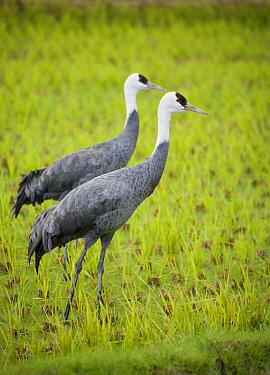 Hooded Crane (Grus monacha) pair, Izumi Plain, Kyushu, Japan  -  Kevin Schafer