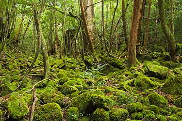 Mossy forest, Shiratani Unsuikyo, Kirishima-Yaku National Park, Yakushima Island, Japan  -  Kevin Schafer