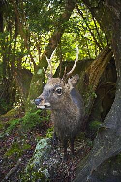 Shansi Sika (Cervus nippon yakushimae) buck, Kirishima-Yaku National Park, Yakushima Island, Japan  -  Kevin Schafer