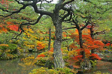 Pine (Pinus sp) and Japanese Maple (Acer palmatum) trees in autumn, Ginkakuji Gardens, Kyoto, Japan  -  Kevin Schafer