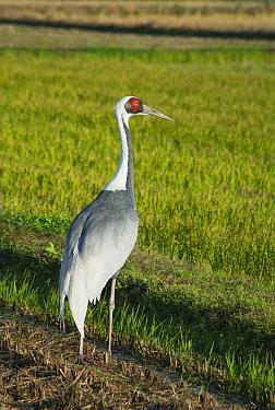 White-naped Crane (Grus vipio), Izumi Plain, Kyushu, Japan  -  Kevin Schafer