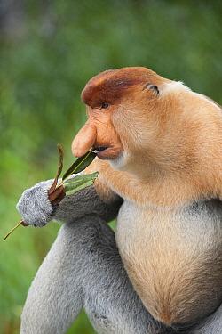 Proboscis Monkey (Nasalis larvatus) male feeding on mangrove leaves, Sabah, Borneo, Malaysia  -  Suzi Eszterhas