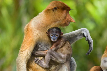 Proboscis Monkey (Nasalis larvatus) baby clinging to mother, Sabah, Borneo, Malaysia  -  Suzi Eszterhas