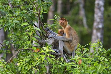 Proboscis Monkey (Nasalis larvatus) mother nursing four month old baby, Sabah, Borneo, Malaysia  -  Suzi Eszterhas