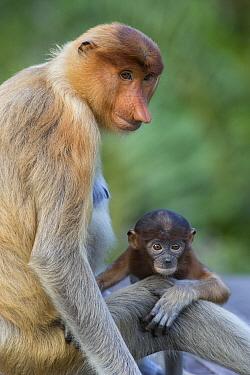Proboscis Monkey (Nasalis larvatus) mother and baby, Sabah, Borneo, Malaysia  -  Suzi Eszterhas
