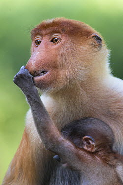 Proboscis Monkey (Nasalis larvatus) baby grabbing mother's nose, Sabah, Borneo, Malaysia  -  Suzi Eszterhas