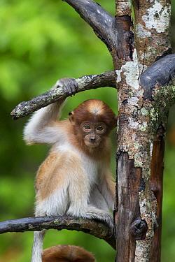 Proboscis Monkey (Nasalis larvatus) three month old baby in tree, Sabah, Borneo, Malaysia  -  Suzi Eszterhas