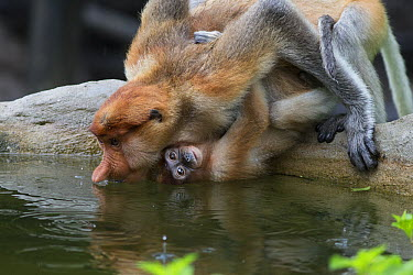 Proboscis Monkey (Nasalis larvatus) mother with baby drinking, Sabah, Borneo, Malaysia  -  Suzi Eszterhas