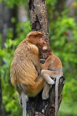 Proboscis Monkey (Nasalis larvatus) mother and three month old baby taking refuge after watching conflict between males, Sabah, Borneo, Malaysia  -  Suzi Eszterhas